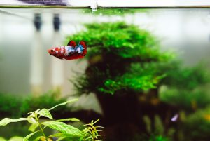 Acclimation of Fish in Tank